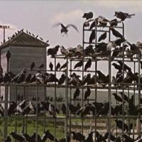 Os Pássaros (Alfred Hitchcock, 1963)